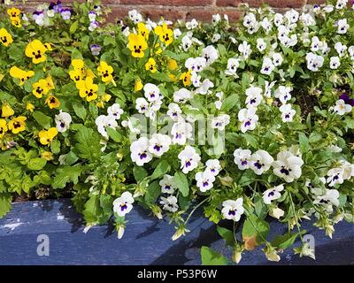 White, yellow and purple pansy flower bed showing beautiful bloom in Summer - Stock Photo