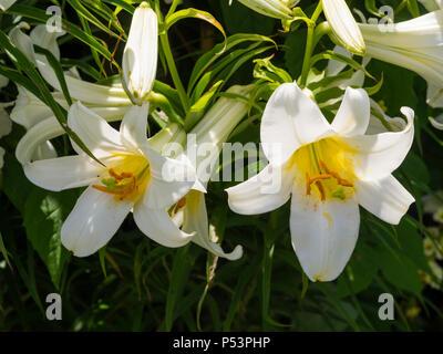 White, summer flowering for, of the trumpet regal lily, Lilium regale 'Album'