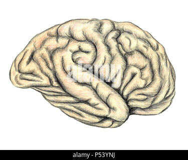 Human brain side view, hand drawn medical illustration, color pencils drawing with imitation of lithography - Stock Photo