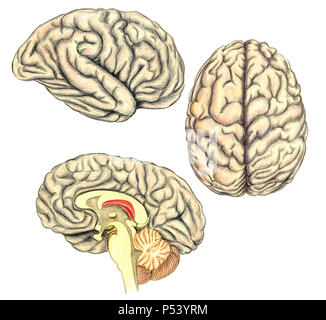 Human brain side view, view from above and viewed through a mid-line incision showing the white matter of the corpus callosum, medical illustration - Stock Photo
