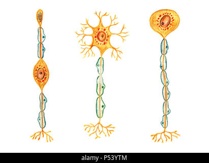 Different kinds of neurons: Bipolar neuron, Multipolar neuron, Unipolar neuron, hand drawn medical illustration, color pencils drawing with imitation - Stock Photo