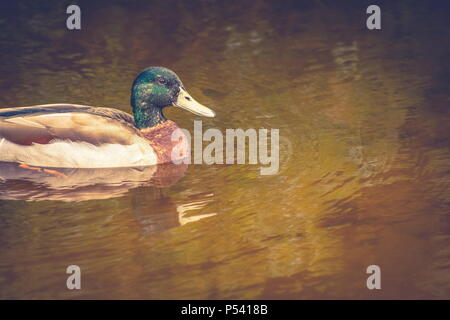 Close up image of a male mallard duck on a swamp pond with copy space. - Stock Photo