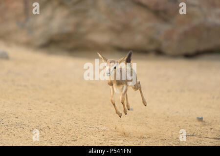 Baby impala jumping for joy - Stock Photo