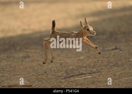 Baby impala jumping for joy - Stock Photo