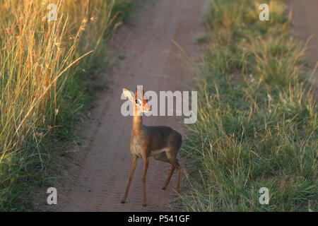 dik dik in wilderness looking straight at the camera - Stock Photo
