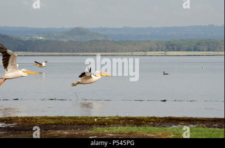 Great white pelicans flying over a lake in Lake Nakuru National Park, Nakuru, Kenya, Africa - Stock Photo