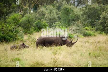 Mother and calf baby rhinoceros in grasslands of Lake Nakuru National Park, Kenya - Stock Photo