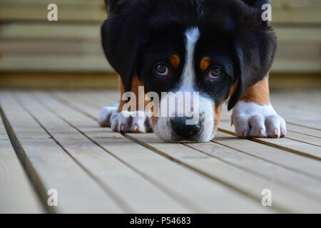 Swiss mountain dog puppy looking directly and close up into the camera with puppy eyes. Standing on wooden decking and sniffing the decking - Stock Photo