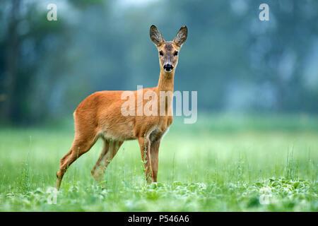 Roe deer standing in a soy field - Stock Photo