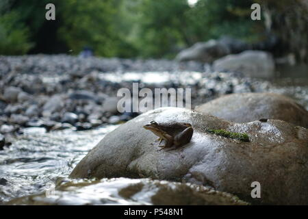 Little Water Frog Sitting by the River on the Stone - Stock Photo