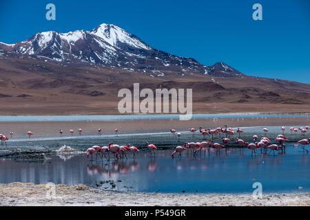 Puna flamingos - Stock Photo