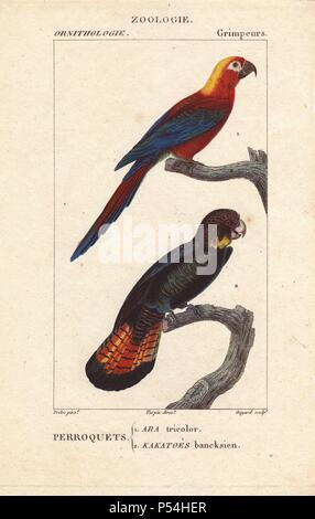Cuban red macaw, Ara tricolor, extinct, and red-tailed black cockatoo Calyptorhynchus banksii. Handcoloured stipple engraving by Guyard from an illustration by Jean-Gabriel Pretre directed by Turpin from Jussieu's 'Dictionnaire des Sciences Naturelles,' Paris, Levrault, 1816-1830. The ornithological section was edited by Charles Sainte-Croix. Pretre (17801845) was painter of natural history at Empress Josephine's zoo and later became artist to the Museum of Natural History. - Stock Photo
