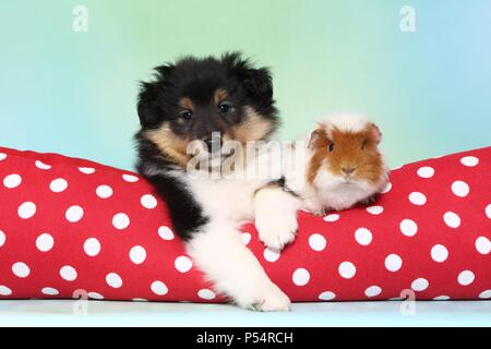 Sheltie puppy and guinea pig - Stock Photo