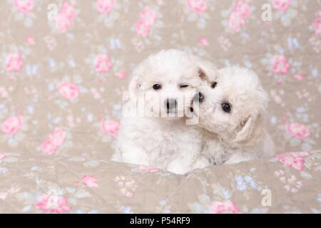 Bichon Frise Puppies - Stock Photo