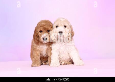 Cockerpoo Puppies - Stock Photo