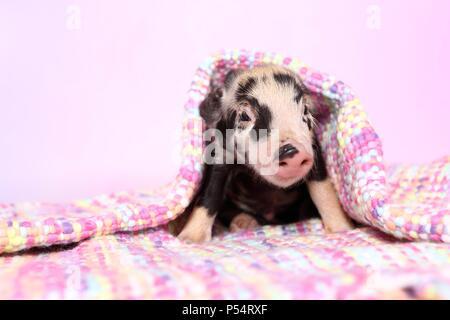 baby pig - Stock Photo