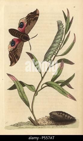 Eyed hawk-moth or ocellated sphinx: pupa, caterpillar on stem of plant, and moth with brown body and fore wings, pink and blue hind wings.. Smerinthus ocellata (Sphinx ocellata). Illustration signed by N (Frederick Nodder).. Handcolored copperplate engraving from George Shaw and Frederick Nodder's 'Naturalist's Miscellany' (1790).. Frederick Polydore Nodder (17511801?) was a gifted natural history artist and engraver. Nodder honed his draftsmanship working on Captain Cook and Joseph Banks' Florilegium and engraving Sydney Parkinson's sketches of Australian plants. He was made 'botanic painter - Stock Photo