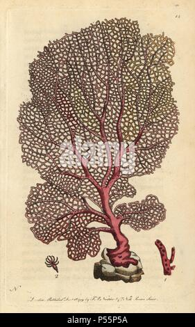 Fan gorgonia, Venus' fan, gorgonian, sea whip or sea fan, a type of polyp or soft coral. Gorgonia flabellum?. Illustration signed by N (Frederick Nodder).. Handcolored copperplate engraving from George Shaw and Frederick Nodder's 'Naturalist's Miscellany' (1790).. Frederick Polydore Nodder (17511801?) was a gifted natural history artist and engraver. Nodder honed his draftsmanship working on Captain Cook and Joseph Banks' Florilegium and engraving Sydney Parkinson's sketches of Australian plants. He was made 'botanic painter to her majesty' Queen Charlotte in 1785. Nodder also drew the botani - Stock Photo