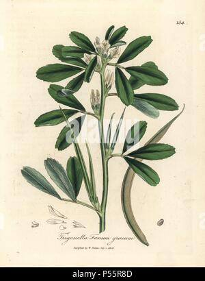 White flowered fenugreek with seed pod, Trigonella foenum graecum. Handcolored copperplate engraving from a botanical illustration by James Sowerby from William Woodville and Sir William Jackson Hooker's 'Medical Botany' 1832. The tireless Sowerby (1757-1822) drew over 2,500 plants for Smith's mammoth 'English Botany' (1790-1814) and 440 mushrooms for 'Coloured Figures of English Fungi ' (1797) among many other works. - Stock Photo