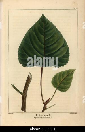 Leaf and branch of the cottonwood tree or Canadian poplar, Populus canadensis. Handcolored stipple engraving from a botanical illustration by Pancrace Bessa, engraved on copper by Gabriel, from Francois Andre Michaux's 'North American Sylva,' Philadelphia, 1857. French botanist Michaux (1770-1855) explored America and Canada in 1785 cataloging its native trees. - Stock Photo