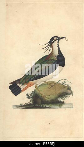 Lapwing or pewit with raggedy crest, and glossy blue, green, purple and brown plumage. 'They are esteemed a delicacy as their nourishment is only slugs and worms; these they draw out of the ground morning and evening.'. . Vanellus vanellus (Tringa vanellus). . Edward Donovan (1768-1837) was an Anglo-Irish amateur zoologist, writer, artist and engraver. He wrote and illustrated a series of volumes on birds, fish, shells and insects, opened his own museum of natural history in London, but later he fell on hard times and died penniless.. . Handcolored copperplate engraving from Edward Donovan's ' - Stock Photo