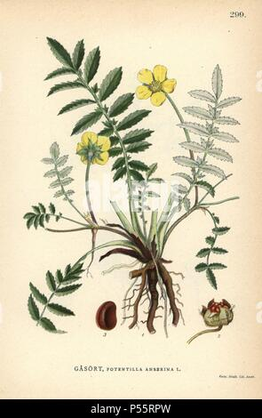 Silverweed cinquefoil, Potentilla anserina. Chromolithograph from Carl Lindman's 'Bilder ur Nordens Flora' (Pictures of Northern Flora), Stockholm, Wahlstrom & Widstrand, 1905. Lindman (1856-1928) was Professor of Botany at the Swedish Museum of Natural History (Naturhistoriska Riksmuseet). The chromolithographs were based on Johan Wilhelm Palmstruch's 'Svensk botanik,' 1802-1843. - Stock Photo