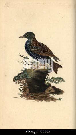 Common starling, Sturnus vulgaris. Handcoloured copperplate drawn and engraved by Edward Donovan from his own 'Natural History of British Birds,' London, 1794-1819. Edward Donovan (1768-1837) was an Anglo-Irish amateur zoologist, writer, artist and engraver. He wrote and illustrated a series of volumes on birds, fish, shells and insects, opened his own museum of natural history in London, but later he fell on hard times and died penniless. - Stock Photo