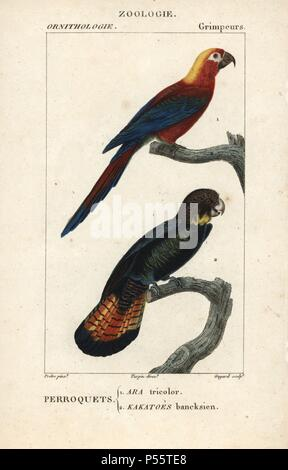 Cuban red macaw, Ara tricolor (extinct), and red-tailed black cockatoo, Calyptorhynchus banksii. Handcoloured copperplate stipple engraving from Dumont de Sainte-Croix's 'Dictionary of Natural Science: Ornithology,' Paris, France, 1816-1830. Illustration by J. G. Pretre, engraved by Guyard, directed by Pierre Jean-Francois Turpin, and published by F.G. Levrault. Jean Gabriel Pretre (17801845) was painter of natural history at Empress Josephine's zoo and later became artist to the Museum of Natural History. Turpin (1775-1840) is considered one of the greatest French botanical illustrators of t - Stock Photo