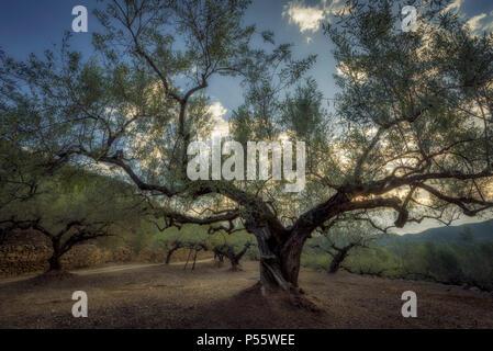 Olive trees in La Vall d'Almonacid (Castellon - Spain) - Stock Photo
