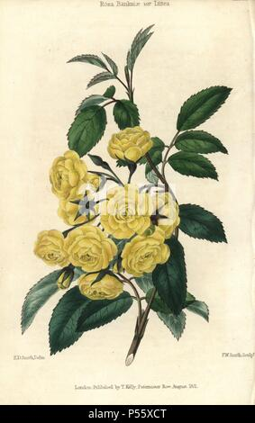 Many small yellow roses, Lady Banks rose, Rosa Banksiae var. lutea. Hand-colored illustration by Edwin Dalton Smith engraved by F.W. Smith from Charles McIntosh's 'Flora and Pomona' 1829. McIntosh (1794-1864) was a Scottish gardener to European aristocracy and royalty, and author of many book on gardening. E.D. Smith was a botanical artist who drew for Robert Sweet, Benjamin Maund, etc. - Stock Photo