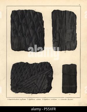Extinct plant fossils: scale tree, Lepidodendron confluens; Sigillaria sulcata and Sigillaria undulata; and horsetail, Calamites succovii. Handcoloured lithograph by an unknown artist from Dr. F.A. Schmidt's 'Petrefactenbuch,' published in Stuttgart, Germany, 1855 by Verlag von Krais & Hoffmann. Dr. Schmidt's 'Book of Petrification' introduced fossils and palaeontology to both the specialist and general reader. - Stock Photo