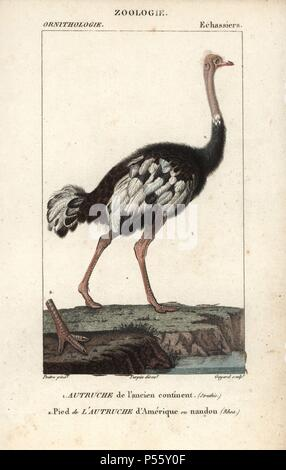 Common ostrich, Struthio camelus, with foot of the American Rhea or nandou, Rhea americana. Handcoloured copperplate stipple engraving from Dumont de Sainte-Croix's 'Dictionary of Natural Science: Ornithology,' Paris, France, 1816-1830. Illustration by J. G. Pretre, engraved by David, directed by Pierre Jean-Francois Turpin, and published by F.G. Levrault. Jean Gabriel Pretre (17801845) was painter of natural history at Empress Josephine's zoo and later became artist to the Museum of Natural History. Turpin (1775-1840) is considered one of the greatest French botanical illustrators of the 19t - Stock Photo
