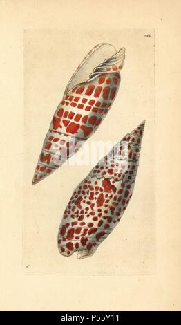 Episcopal miter or mitre shell, Mitra mitra, a large predatory marine gastropod mollusk. Illustration signed S (George Shaw).. Handcolored copperplate engraving from George Shaw and Frederick Nodder's 'The Naturalist's Miscellany' 1796. Frederick Polydore Nodder (17511801?) was a gifted natural history artist and engraver. Nodder honed his draftsmanship working on Captain Cook and Joseph Banks' Florilegium and engraving Sydney Parkinson's sketches of Australian plants. He was made 'botanic painter to her majesty' Queen Charlotte in 1785. Nodder also drew the botanical studies in Thomas Martyn - Stock Photo