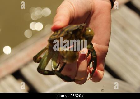Discover Wildlife -  A crabber on a nature trek showing the photographer a single common shore crab (Carcinus maenas). - Stock Photo
