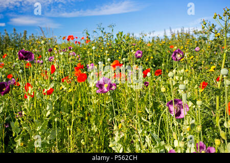 A stunning display of poppies in a field adjacent to a building site in West Hanney, Wantage, Oxfordshire, UK - Stock Photo