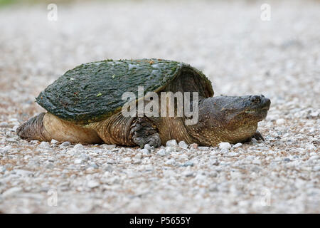 Female Common Snapping Turtle (Chelydra serpentina) excavating a nest - Ontario, Canada - Stock Photo