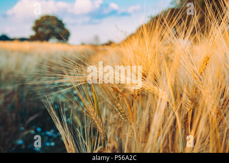 Gold Wheat flied with oak tree at sunset light, rural countryside - Stock Photo