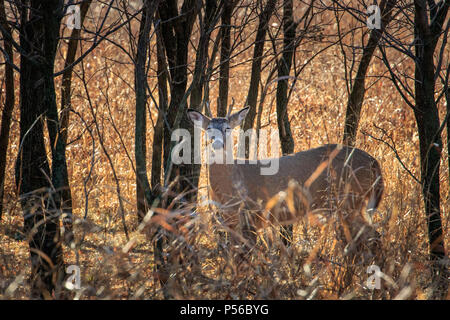 A young White tailed deer (Odocoileus virginianus) buck hiding in a winter forest. - Stock Photo