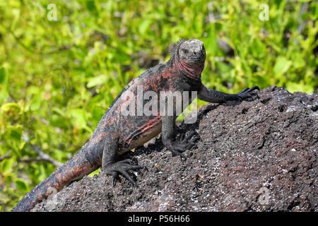 Marine iguana (Amblyrhynchus cristatus) on Espanola Island, Galapagos National park, Ecuador. Marine iguana of Espanola Island has red markings on its - Stock Photo
