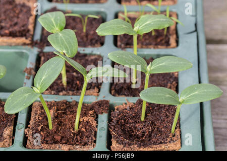 Young Komkommer or cucumber plants in a breeding tray - Stock Photo