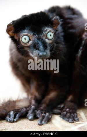 Sclater's lemur - Stock Photo