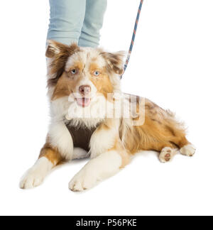 american shepherd layer and leashed with a harness on white background - Stock Photo