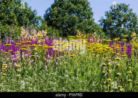 Achillea and Salvia in Winter Garden at RHS Hyde Hall Gardens - Stock Photo
