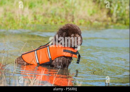 Newfoundland Puppy - Stock Photo