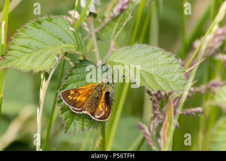 Large skipper or Ochlodes venatus with darkbrown and orange upper wings with pale markings underwings buffish orange with paler spots. Looks moth like - Stock Photo