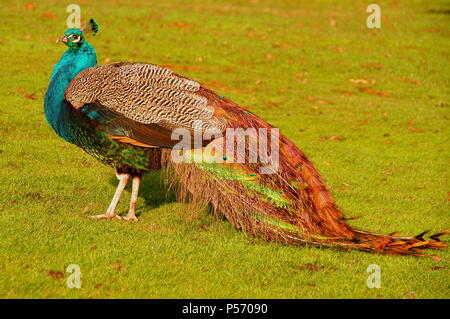 beautiful male peacock stands in the park. - Stock Photo