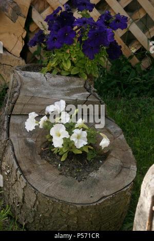 White and purple petunia in tree stump - Stock Photo
