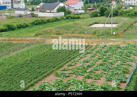 sown fields, growing vegetables, young sprouts of agricultural plants - Stock Photo