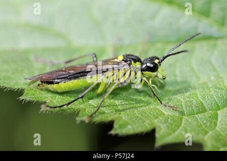 Lime Green Sawfly Tenthredo mesomela - Stock Photo