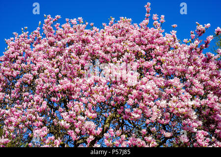 Blooming magnolia tree, pink flowers, blue sky, Alsace, France, Europe, - Stock Photo